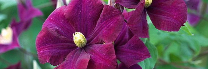 Large  Flowered Clematis