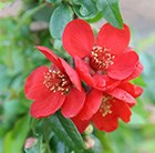 Chaenomeles × superba Crimson and Gold