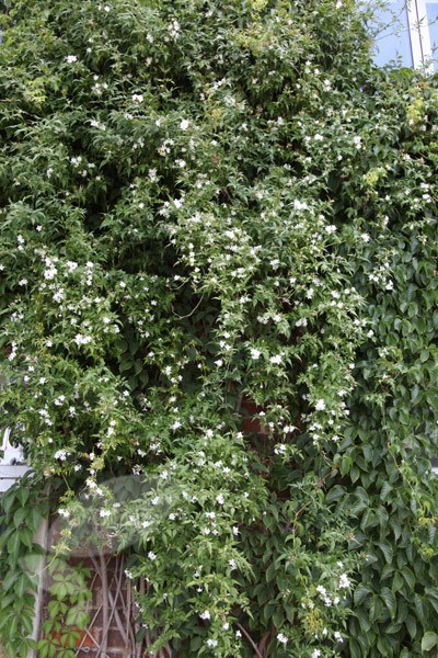 common white jasmine