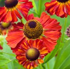 Helenium Moerheim Beauty