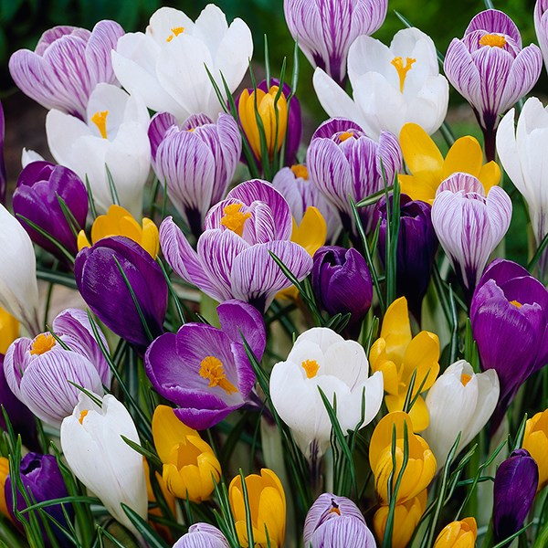 large flowering crocus bulbs