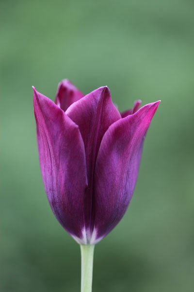 triumph tulip bulbs