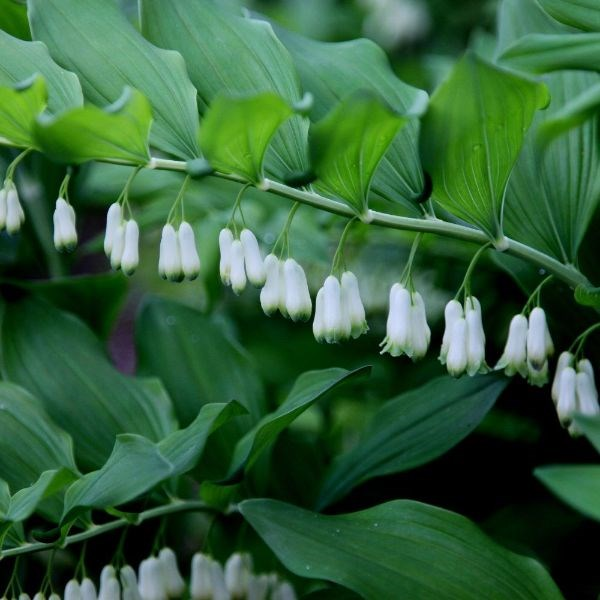 common Solomon's seal