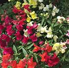 Antirrhinum Appeal Select Mixed